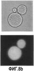 Способ идентификации иммунных связывающих веществ поверхностных антигенов клетки