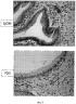 Мультипотентные стволовые клетки внепеченочных желчных путей и способы их выделения