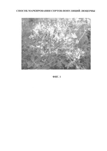 Способ маркирования сортов-популяций люцерны