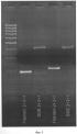 Молекулярный маркер fr_er1 и его использование для селекции новых сортов гороха, устойчивых к мучнистой росе