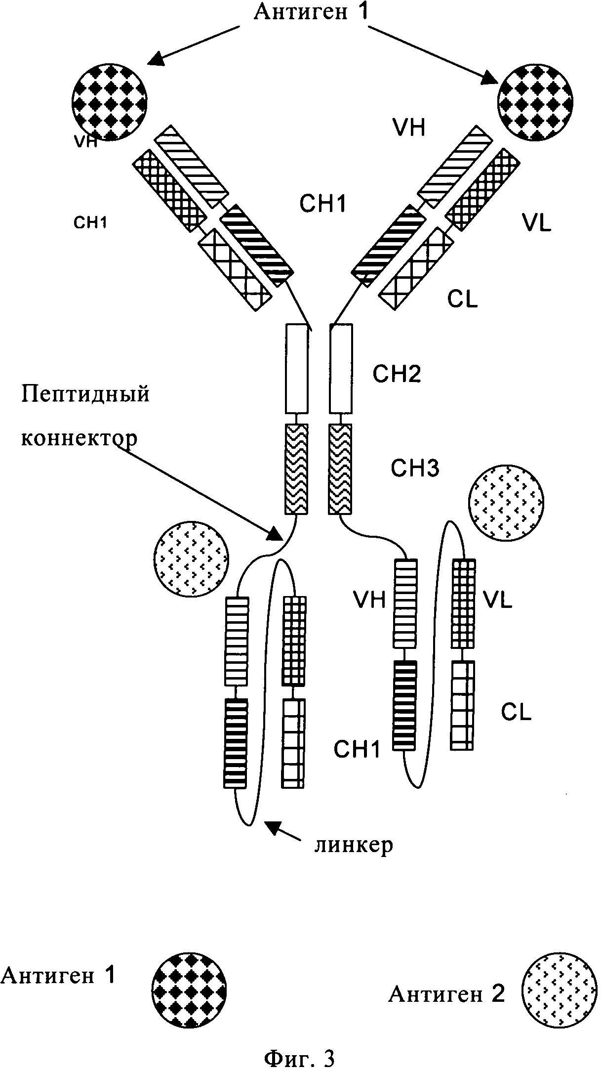 Полиспецифичные антитела, включающие антитела полной длины и одноцепочечные фрагменты fab