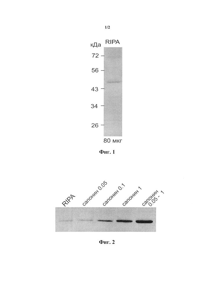 Способ получения обогащенного сфингомиелинсинтазой экстракта с использованием сапонина