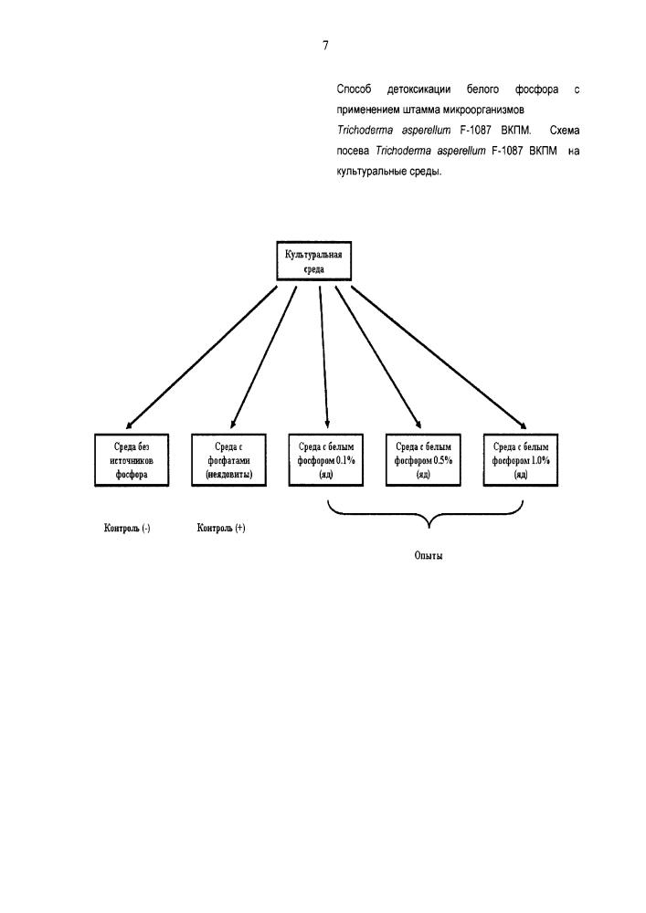 Способ детоксикации белого фосфора с применением штамма микроорганизмов trichoderma asperellum вкпм f-1087