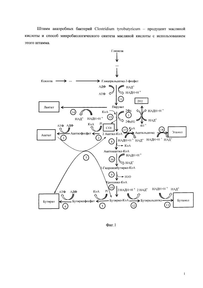 Штамм анаэробных бактерий clostridium tyrobutyricum - продуцент масляной кислоты и способ микробиологического синтеза масляной кислоты с использованием этого штамма