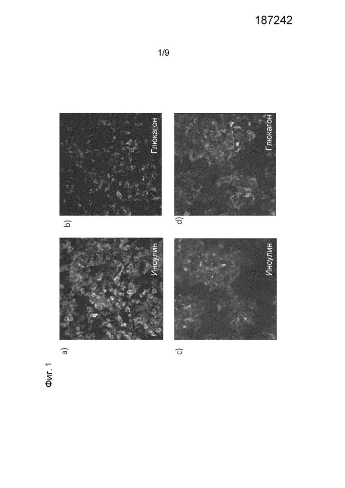 Дифференцировка человеческих эмбриональных стволовых клеток