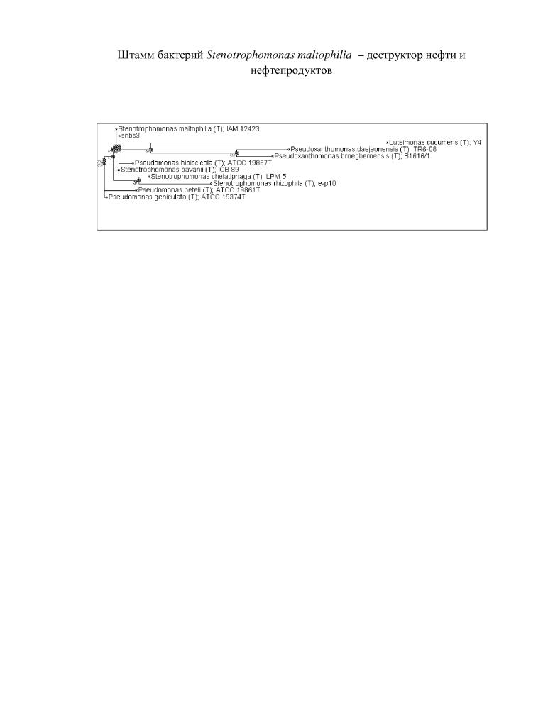Штамм бактерий stenotrophomonas maltophilia - деструктор нефти и нефтепродуктов