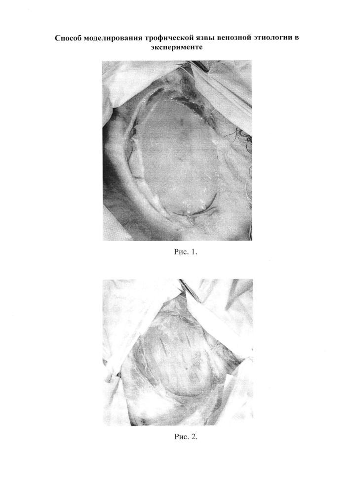 Способ моделирования трофической язвы венозной этиологии в эксперименте