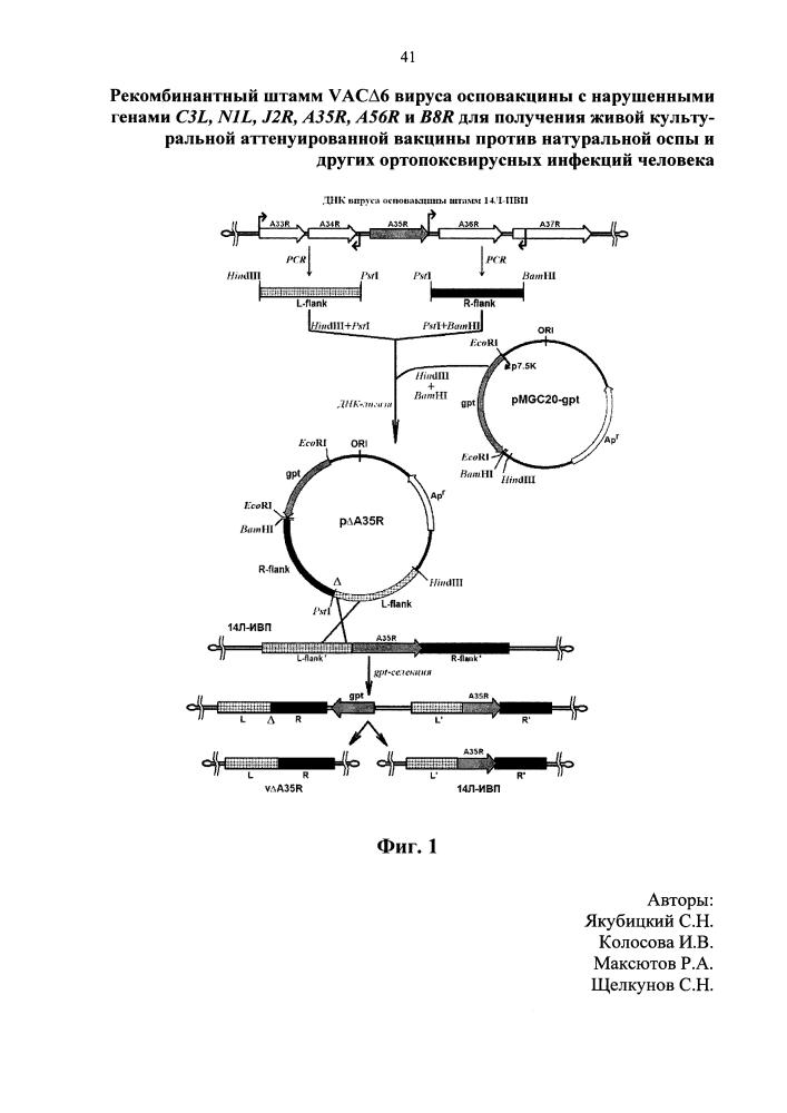 Рекомбинантный штамм vacδ6 вируса осповакцины с нарушенными генами вирулентности c3l, n1l, j2r, a35r, a56r, b8r для получения живой культуральной аттенуированной вакцины против натуральной оспы и других ортопоксвирусных инфекций человека