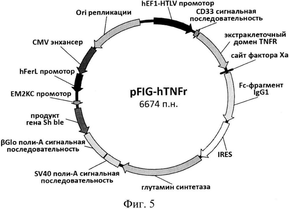 Экспрессионный плазмидный вектор для экспрессии активной формы tnfr1-fc и способ получения рекомбинантного белка