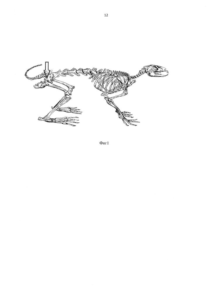 Способ моделирования асептического некроза головки бедренной кости