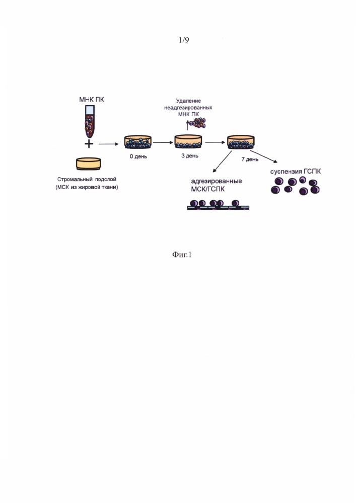 Способ получения мск-ассоциированных недифференцированных гемопоэтических клеток-предшественников с фенотипов cd34+/cd133+