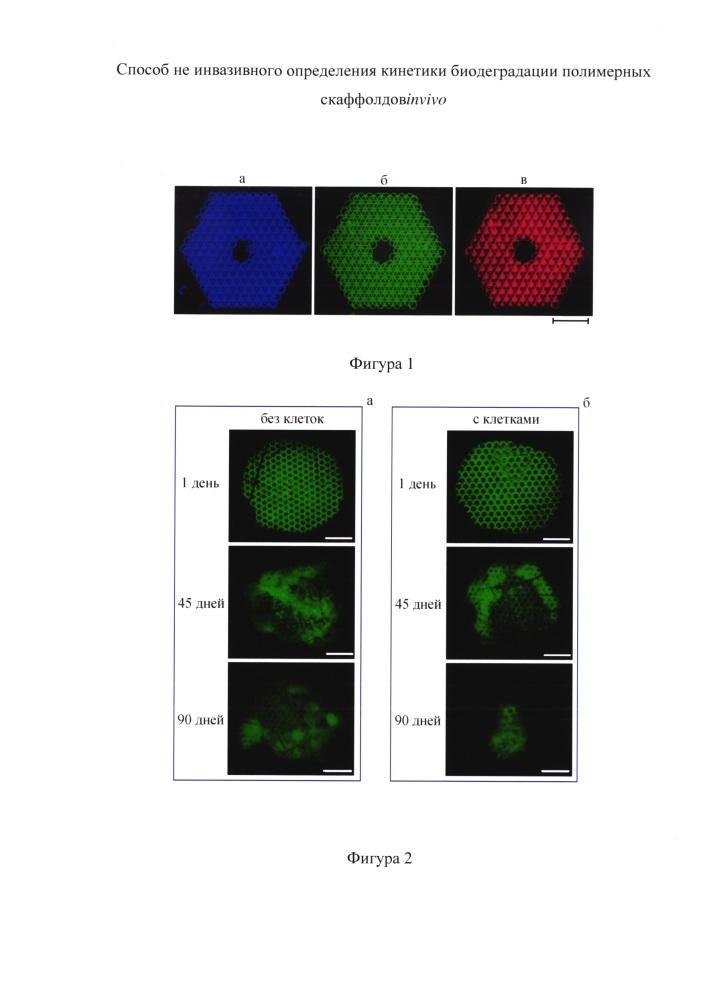 Способ определения кинетики биодеградации полимерных скаффолдов in vivo