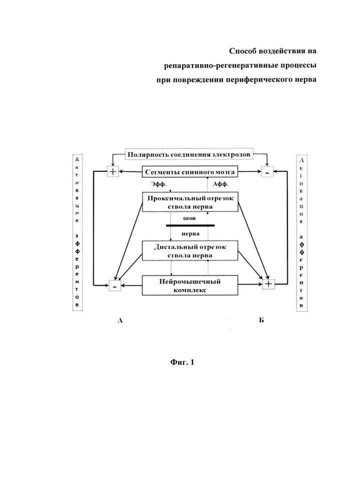 Способ воздействия на репаративно-регенеративные процессы при повреждении периферического нерва