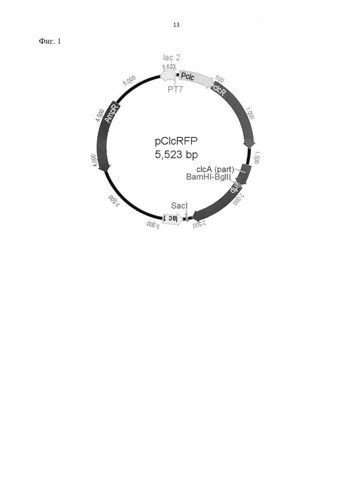 Рекомбинантная плазмидная днк pclcrfp, кодирующая продукцию флуоресцентного белка rfp, для определения биодоступных хлорированных катехолов, их аналогов и тяжёлых металлов