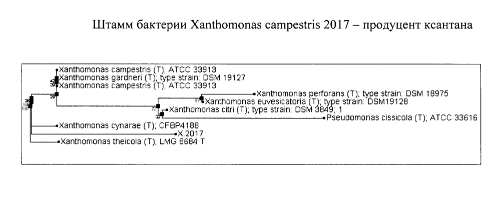 Штамм бактерии xanthomonas campestris - продуцент ксантана