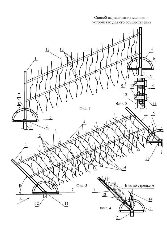 Способ выращивания малины и устройство для его осуществления