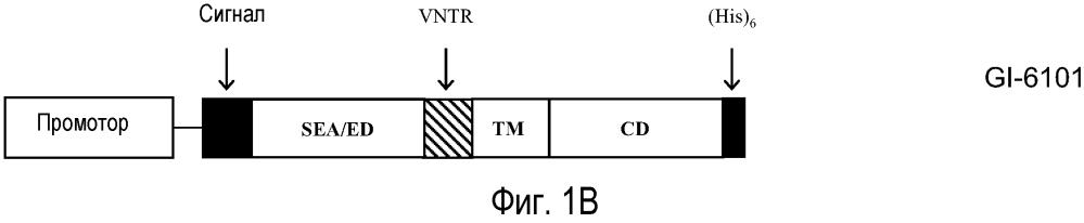 Иммунотерапевтические композиции на основе дрожжей-muc1 и способы их применения
