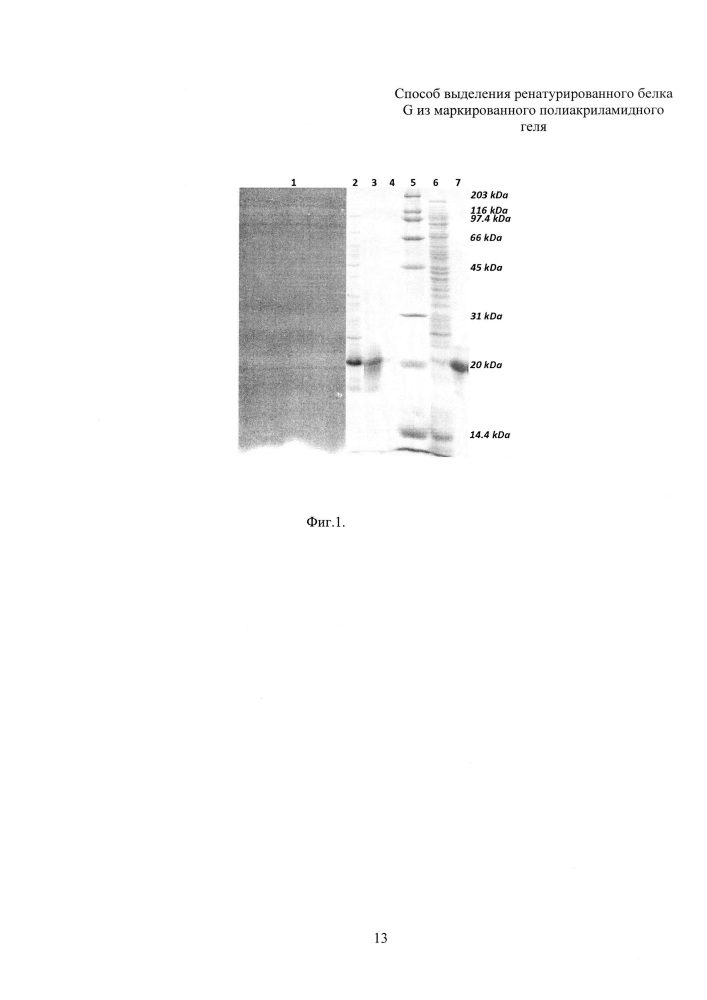Способ выделения ренатурированного белка g из маркированного полиакриламидного геля
