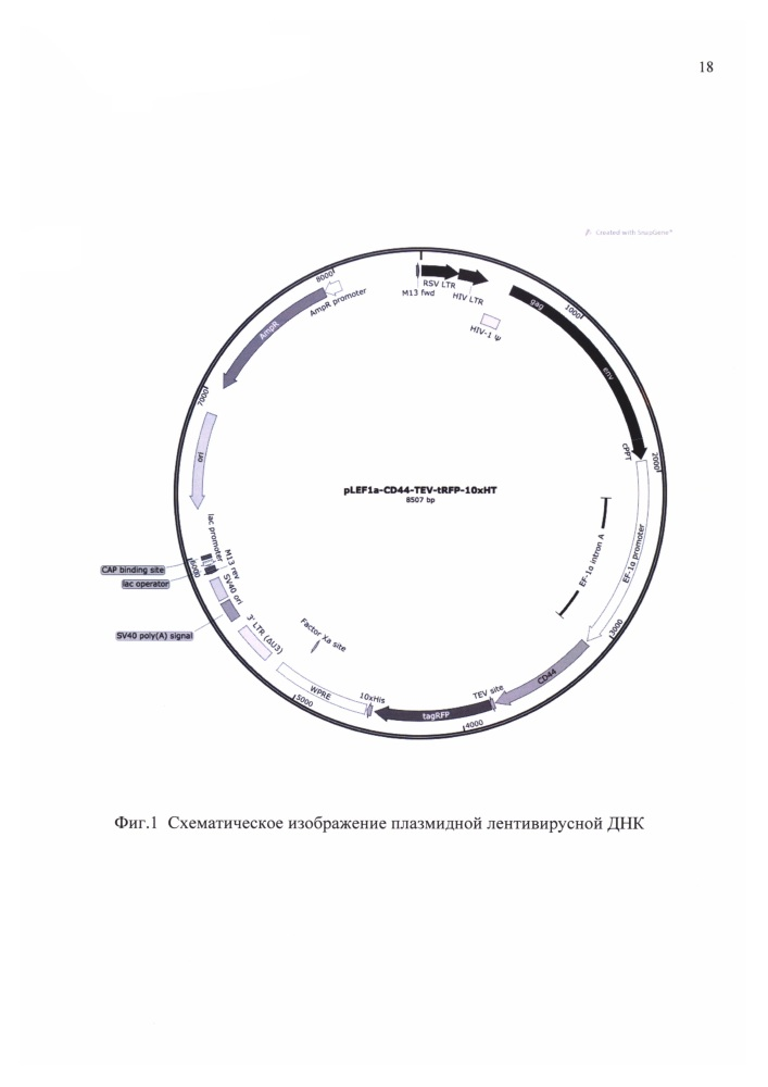 Экспрессионный плазмидный лентивирусный вектор для гетерологической экспрессии рекомбинантного человеческого белка cd44