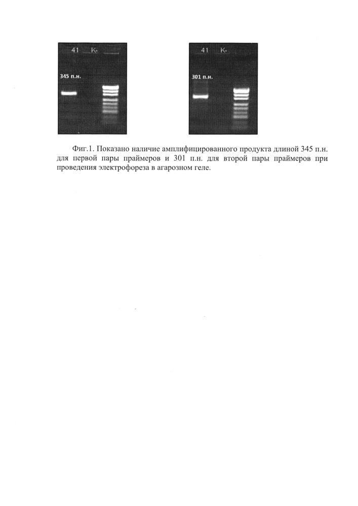 Набор синтетических олигонуклеотидов для определения последовательности 1 интрона, примыкающей ко 2 экзону, генов системы hla i и ii классов (hla-a и hla-drb1)