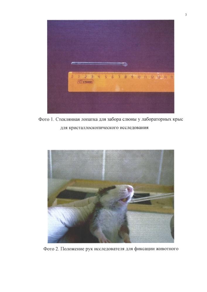 Способ забора слюны лабораторных крыс для кристаллоскопического исследования с использованием стеклянной лопатки
