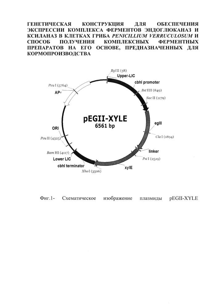 Генетическая конструкция для обеспечения экспрессии комплекса ферментов эндоглюканаз и ксиланаз в клетках гриба penicillium verruculosum и способ получения комплексных ферментных препаратов на его основе, предназначенных для кормопроизводства