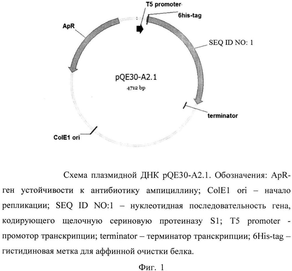 Плазмида, обеспечивающая экспрессию щелочной сериновой протеиназы, содержащая ген, экспрессирующий щелочную сериновую протеиназу семейства s1 из streptomyces avermitilis vkm ac-1301, штамм e. coli m15 (prep4, pqe30-a2.1) - продуцент данной протеиназы