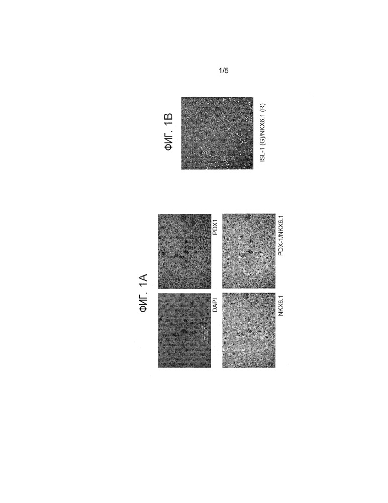 Дифференцирование эмбриональных стволовых клеток человека