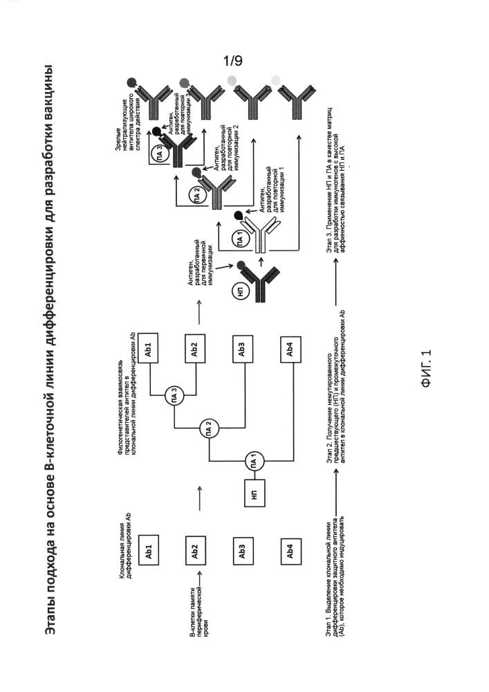 Разработка иммуногена на основе в-клеточной линии дифференцировки с использованием гуманизированных животных