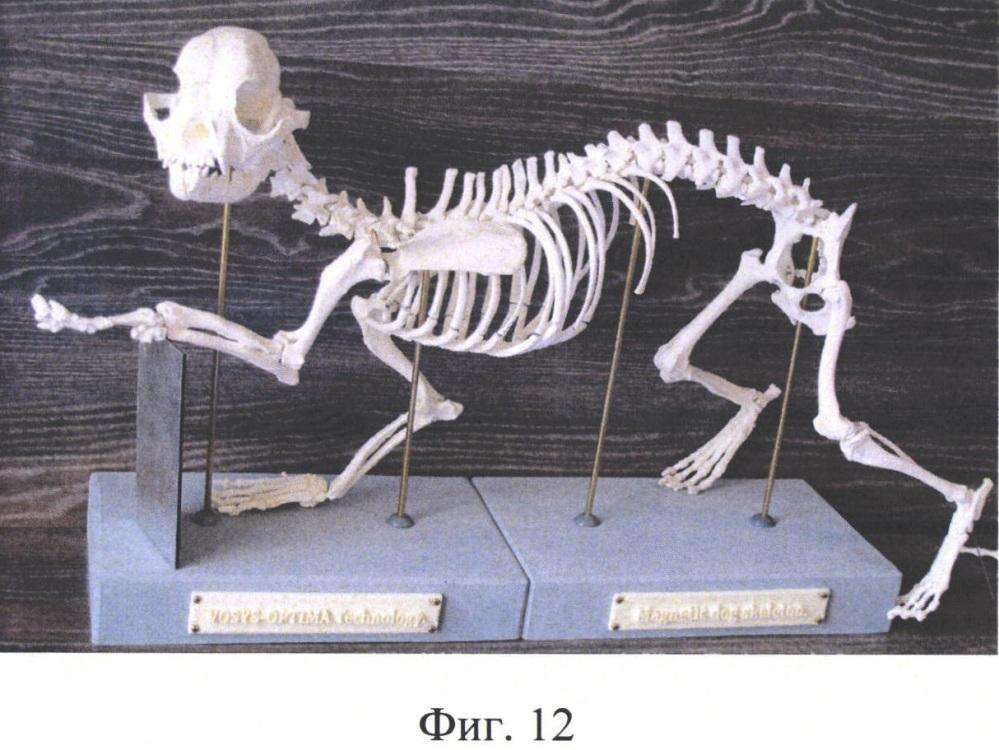 Демонстрационная трехмерная модель скелета животного