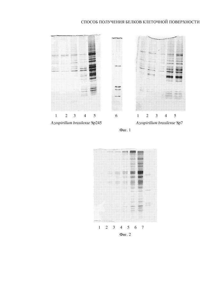 Способ получения белков клеточной поверхности