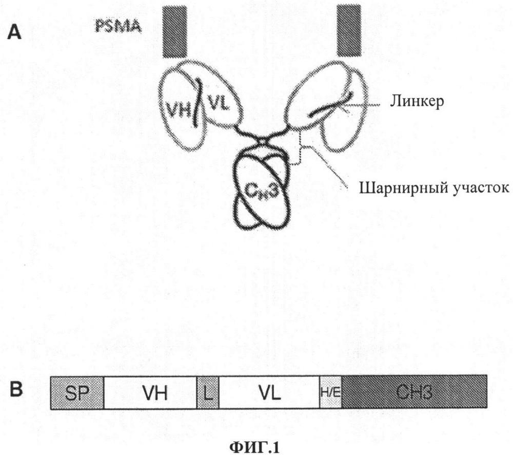 Мини-антитела j591 и цис-диатела для направленной доставки простата-специфичного мембранного антигена (psma) человека и способы их применения
