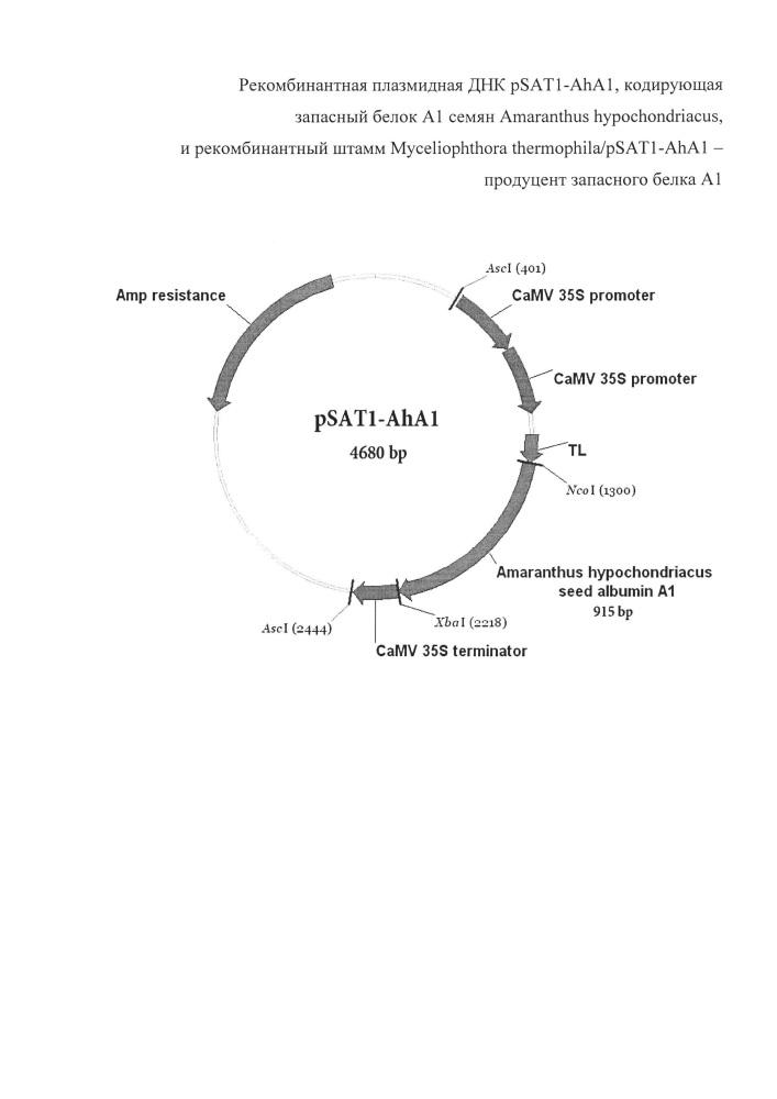 Рекомбинантная плазмидная днк psat1-aha1, кодирующая запасный белок а1 семян amaranthus hypochondriacus, и рекомбинантный штамм myceliophthora thermophila/psat1-aha1 - продуцент запасного белка а1