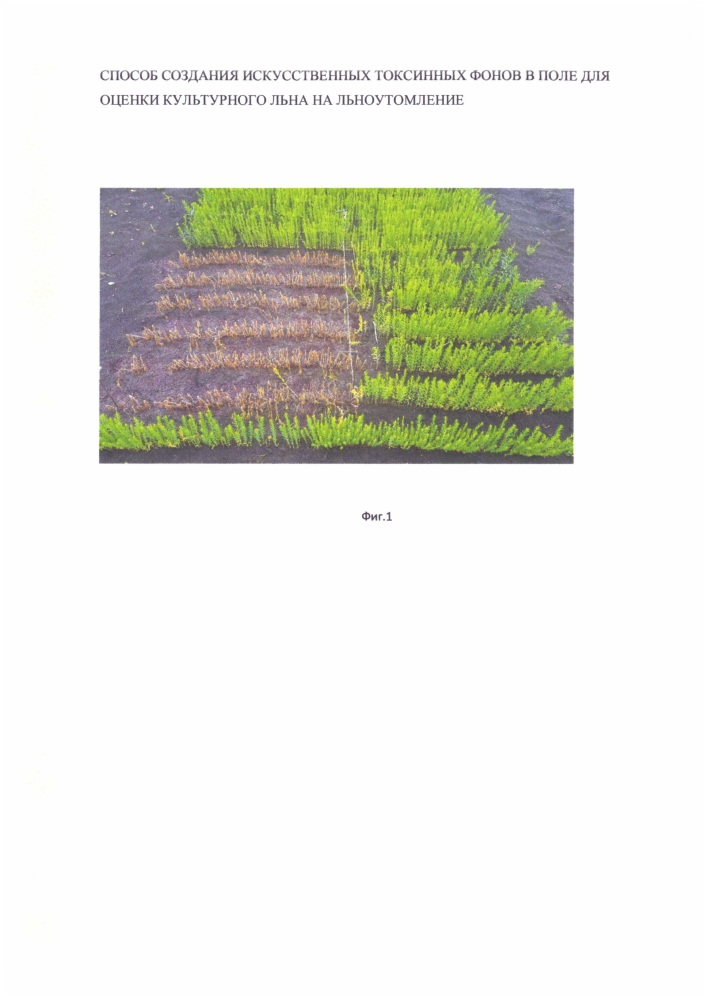 Способ создания искусственных токсинных фонов в поле для оценки культурного льна на льноутомление