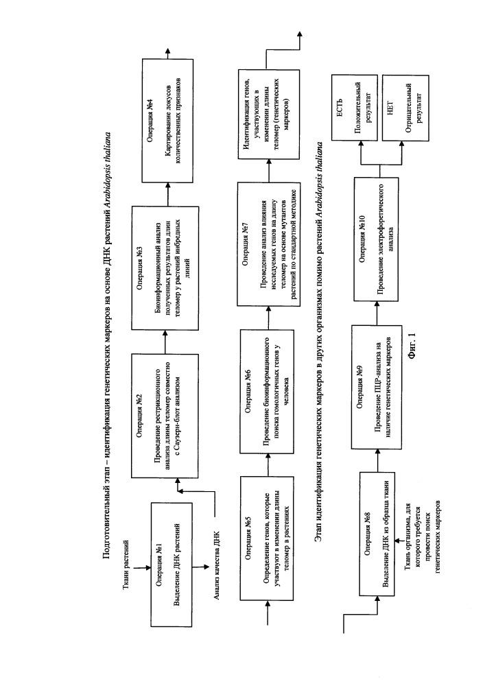 Способ идентификации генетических маркеров регуляции длины теломер