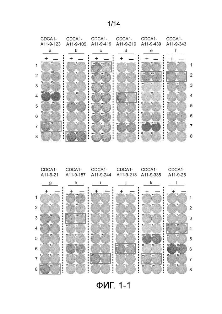 Пептид, полученный из cdca1, и содержащая его вакцина