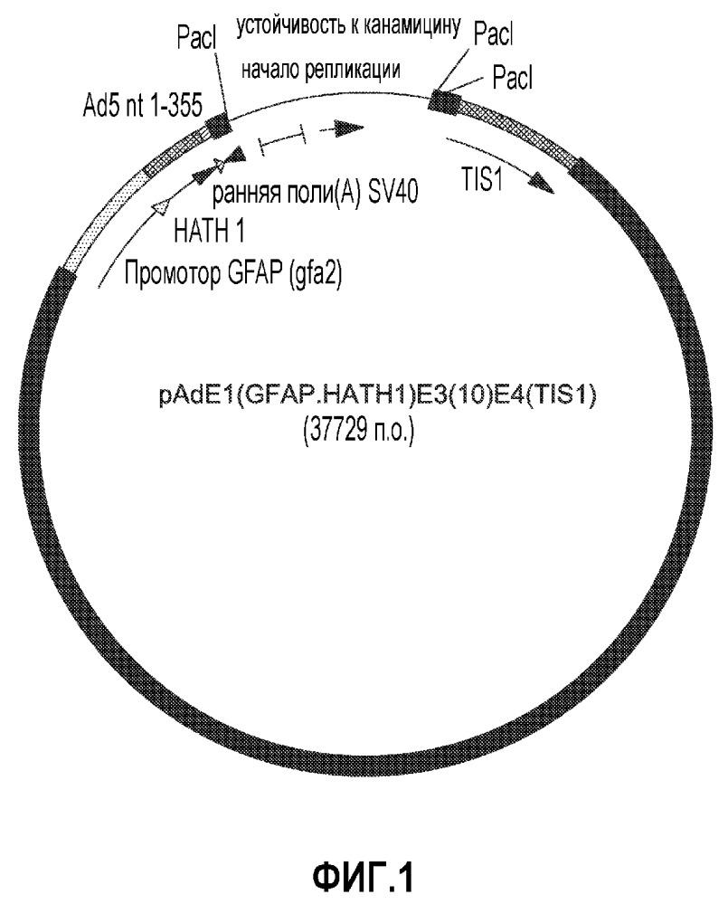 Аденовирусный вектор, кодирующий гомолог-1 белка atonal человека (hath1)