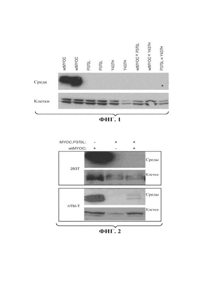 Аденоассоциированные вирусные векторы для лечения миоцилиновой (myoc) глаукомы