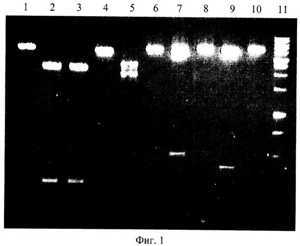 Штамм бактерий glacial ice bacterium - продуцент сайт-специфической эндонуклеазы glu i