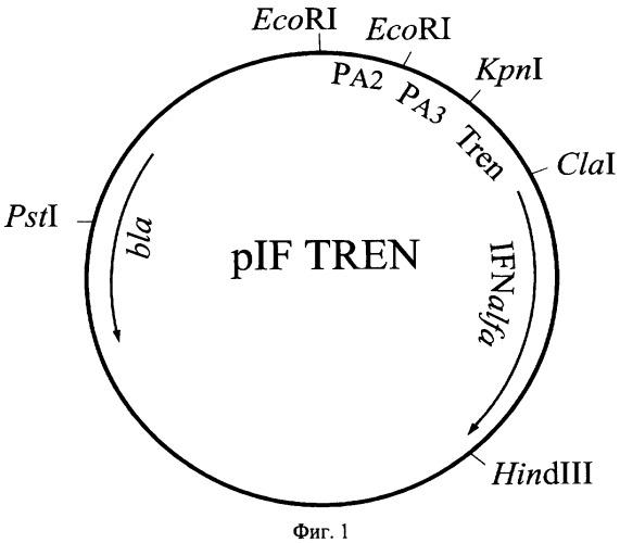 Рекомбинантная плазмидная днк pif tren, кодирующая полипептид интерферона альфа-2b человека, и штамм бактерий escherichia coli-продуцент полипептида интерферона альфа-2b человека