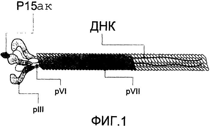 Пептид, способный связываться с tgf-  1 и ингибировать биологическую активность tgf-  1 in vitro и/или in vivo, применение пептида, фармацевтическая композиция, последовательность днк, конструкция днк, вектор экспрессии, клетка-хозяин и способ получения пептида